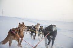 Красивая 6 собак изобилует вытягивать скелетон Сфотографированный от сидеть в перспективе скелетона Потеха, здоровый спорт зимы н стоковое изображение rf