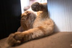 Красивая оранжевая желтая домашняя кошка tabby стоковая фотография