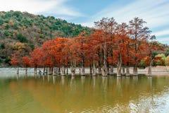 Красивая оранжевая красная древесина кипариса болота озером Sukko, Anapa, Россией Ландшафт осени сценарный стоковая фотография