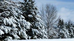 Красивые вечнозеленые сосны в лесе после снежностей с солнцем светя через облака акции видеоматериалы