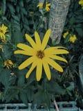 Красивые желтые цветки среди зеленых листьев стоковые фото