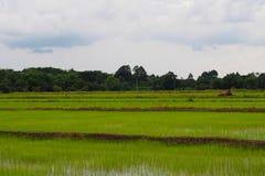 Красивые зеленые зоны аграрного края, растя риса который начинает вырасти На зеленой предпосылке дерева и неба стоковое фото rf