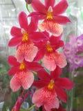 Красивые малиновые с желтым орхидеи в целлофане в цветочном магазине. Stock Photography