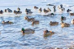 Красивые поплавки утки мандарина на озере или реке Редкий вид утки стоковое изображение