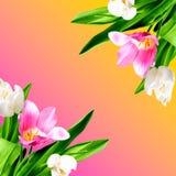 Красивые тюльпаны на предпосылке цвета стоковое фото
