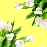 Красивые тюльпаны на предпосылке цвета стоковые изображения