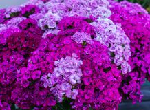 Красивые цветки гвоздик студента в огромном букете стоковое изображение