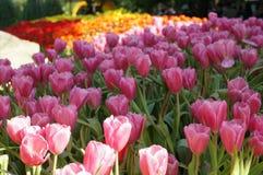 Красивые цветки тюльпана в пинке в саде стоковое изображение rf
