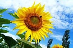 Красивые солнцецветы против голубого неба стоковое фото