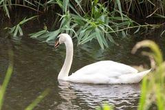 Красивый белый лебедь в Нидерланд стоковая фотография