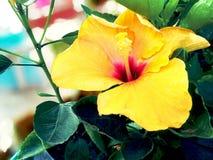 Красивый естественный желтый гибискус поднял стоковая фотография