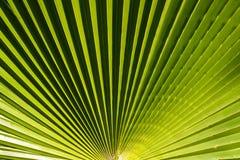Красивый зеленый конец текстуры разрешения пальмы вверх по деталям стоковые фото