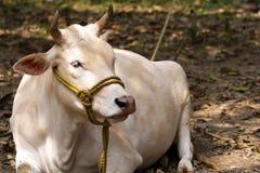 Красивый индийский святой белый зебу коровы лежит мирно в портрете тропического леса индийской белой коровы горба индийско стоковое фото