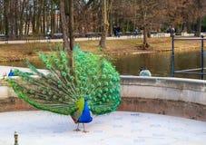 Красивый и красочный павлин в королевских ваннах паркует парк Lazienki Варшава, Польша стоковые изображения