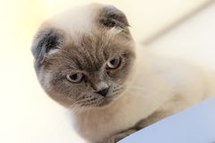Красивый портрет шотландской створки кот смотрит и ждет шаловливый кот ждать игрушку Для украшения и дизайна стоковые фотографии rf