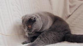 Красивый шотландский кот створки играя с игрушкой сток-видео