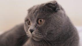 Красивый шотландский кот створки лежит на кресле дома сток-видео