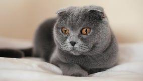 Красивый шотландский кот створки лежит на кресле дома акции видеоматериалы