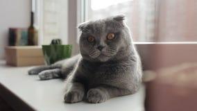 Красивый шотландский кот створки лежит на windowsill и смотрит в камеру видеоматериал