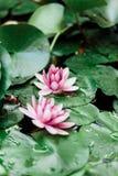 Красивый цветок лотоса плавая над водой в пруде ботанического сада стоковые изображения rf