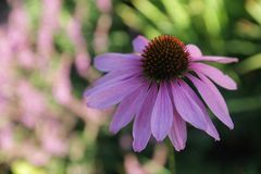 Красивое пурпурное purpurea coneflowerEchinacea в летнем дне стоковые изображения rf