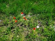 Красивое поле травы и некоторый красный цветок мака стоковое фото