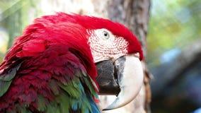 Красная ара попугая, красных и зеленых, chloroptera Ara сток-видео