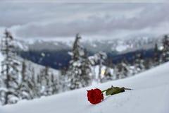 Красная роза на белом снеге стоковые фото