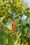 Красные и зеленые лист персикового дерева на яркий солнечный день стоковое фото