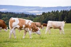 Красные коровы Гольштейна пасут на луге стоковые изображения