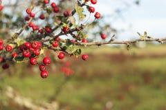 Красные ягоды на ферме NZ стоковое фото