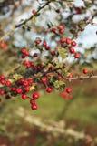 Красные ягоды на ферме NZ стоковая фотография rf