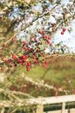 Красные ягоды на ферме NZ стоковые изображения rf