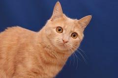 Красный кот на голубой предпосылке стоковое фото rf