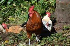 Красный петух блюстительно защищая его стадо куриц стоковое изображение