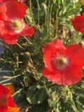 Красный сезон цветков весной стоковое фото rf