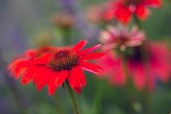 Красный цвет эхинацеи с нерезкостью предпосылки стоковое фото rf
