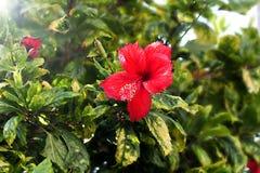 Красный цветок hibiscus стоковая фотография rf