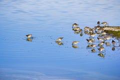 Краткость представила счет Dowitchers питаясь в болотах юга San Francisco Bay, Калифорния стоковые изображения rf