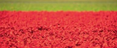 Красочные поля тюльпана около Keukenhof, Нидерланд стоковая фотография rf