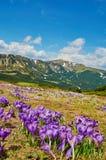 Красочные цветки крокуса зацветая в прикарпатских горах на предпосылке природы Красота природы весны стоковая фотография