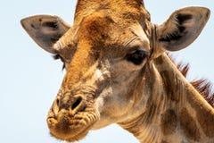Крупный план жирафа стоковые фото