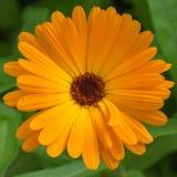 Крупный план красивого оранжевого цветка ноготк Calendula стоковые изображения