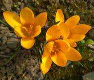 Крокусы красивой весны желтые в саде стоковая фотография rf
