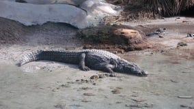 Крокодил в условиях со-инкубатора стоковые фотографии rf