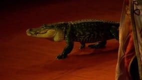 Крокодил сток-видео