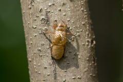 Кожа цикады на дереве стоковое фото