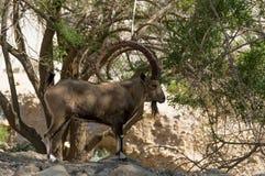 Коза горы nubiana Capra стоковая фотография rf