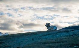 Коза поверх горы стоковые фотографии rf