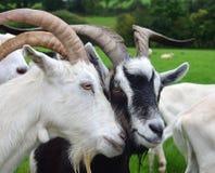 2 козы кладя их головы совместно Ирландия стоковое изображение rf